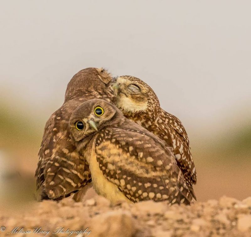 Melissa Usrey (United States) © 'Burrowing Owlet embarrassed by kissing behind him!'