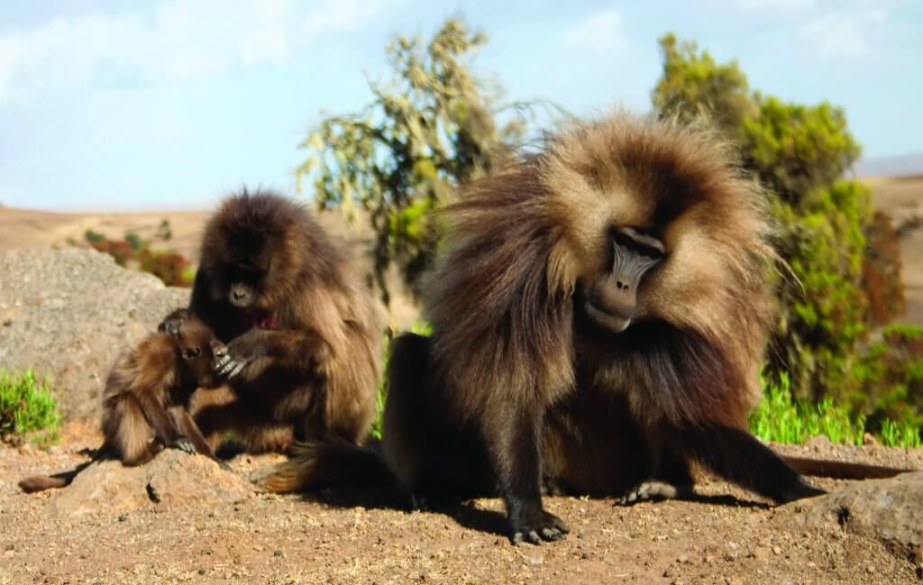 Male gelada baboon gets ruffled.