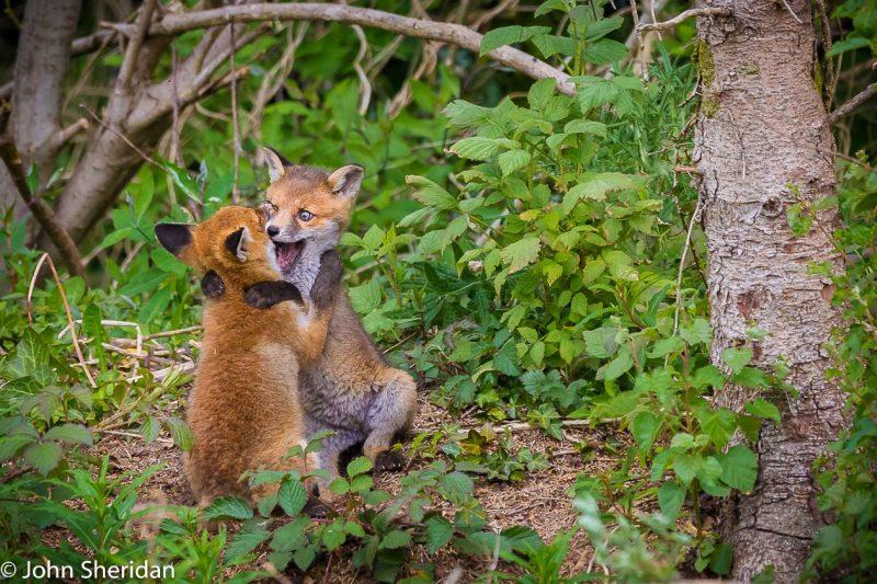 ohn Sheridan (Ireland) © Cuddling Cubs.