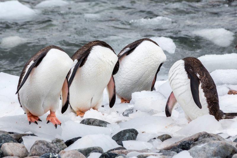 Monique Jans Netherlands Headless Penguins