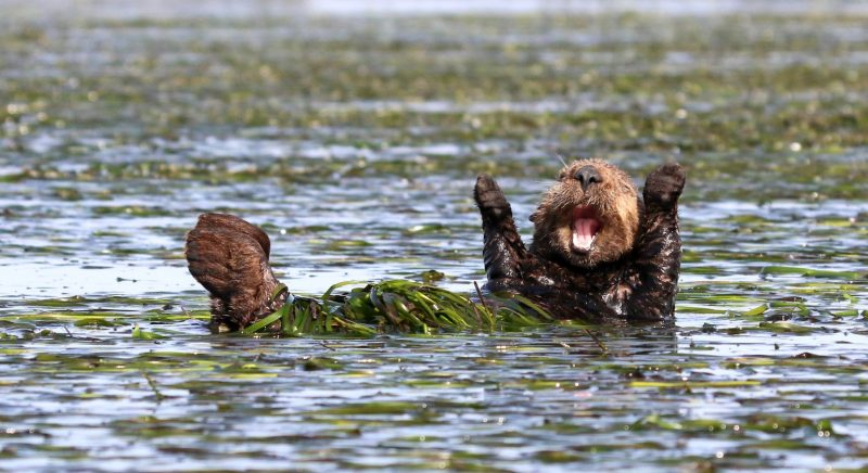 Penny Palmer United States 'Cheering sea otter'