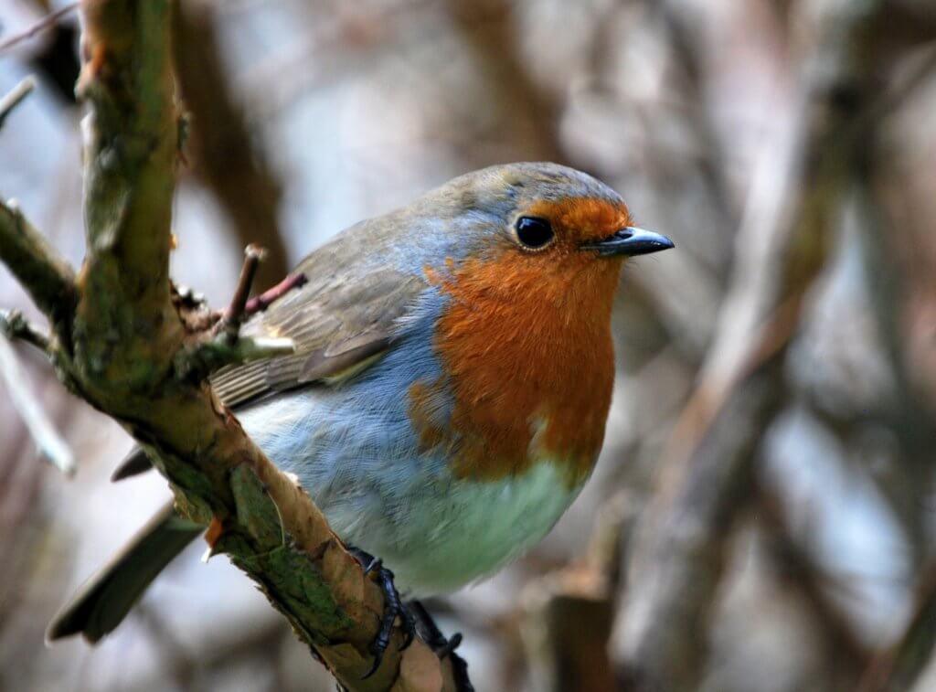 Robin on Inishbofin.
