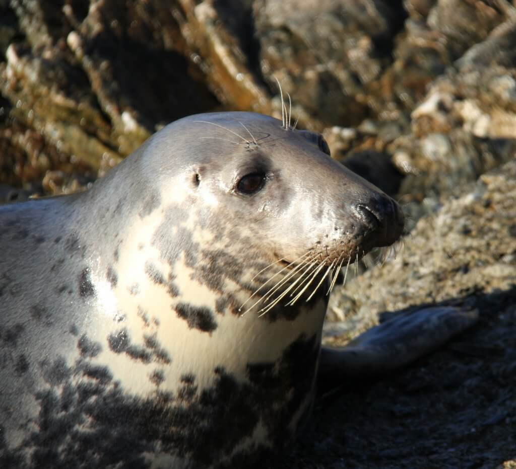 Seal on Inishbofin