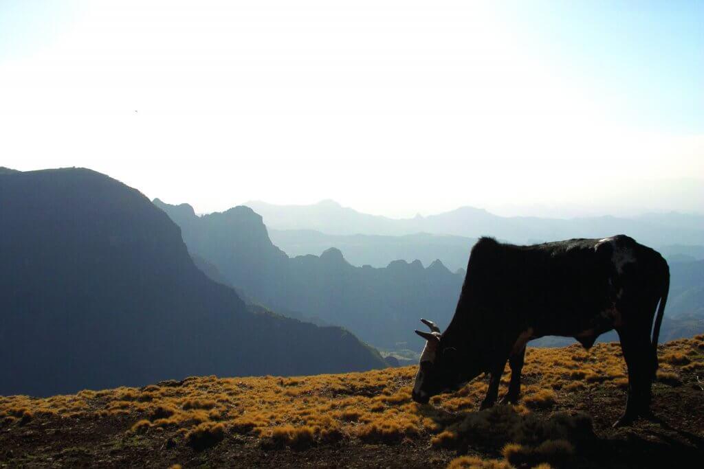 Ethiopian cow