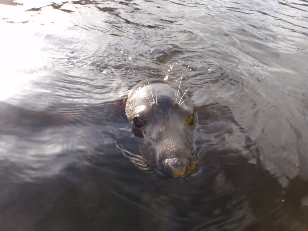 Seal in the River Lee.