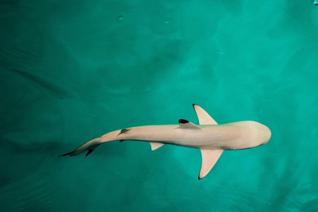 sharks coming to Ireland