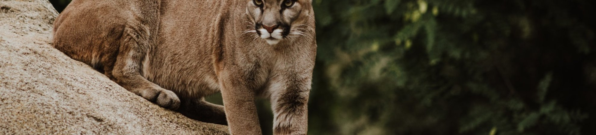 jogger killed mountain lion